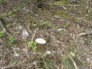 Environmental damage or inadvertent coppicing?