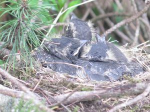 Ring ouzel chicks