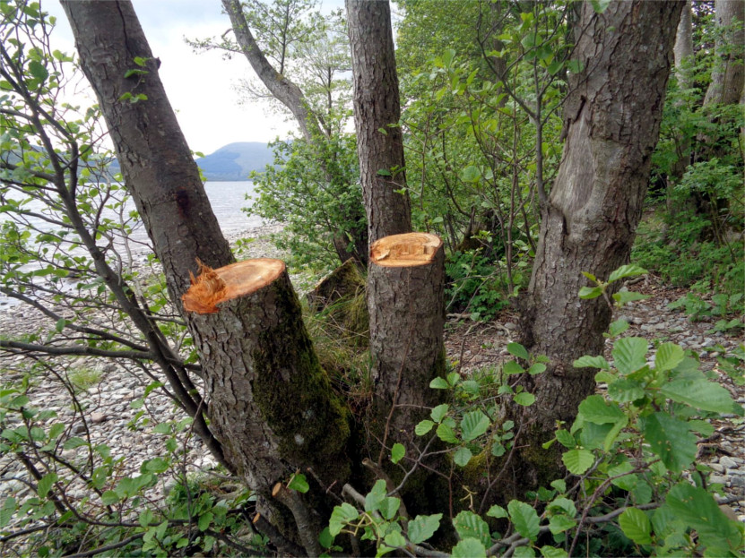 Criminal damage to loch side trees. two trunks felled.